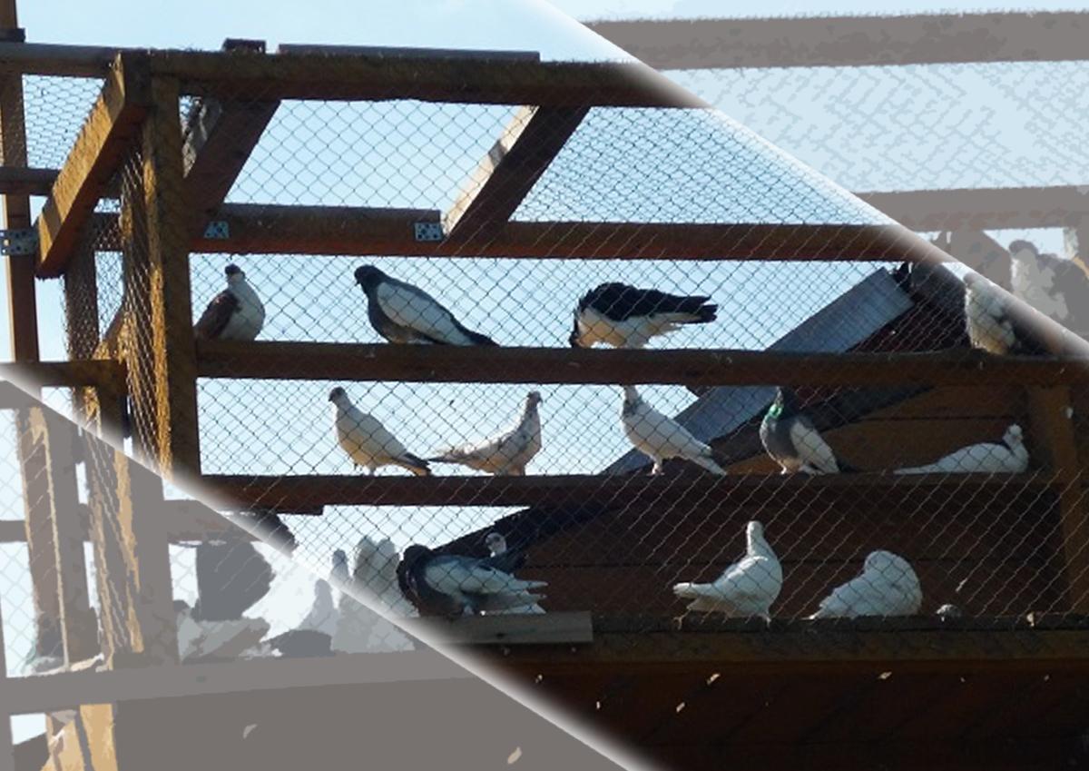 Новые голубятни открыли в Капотне